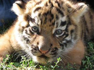 В зоопарке Николаева родился тигренок (ФОТО)