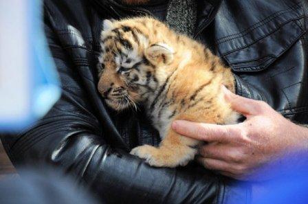 В украинском зоопарке появились детеныши редкого тигра