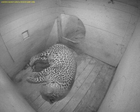 В Сочинском национальном парке родились детеныши леопарда