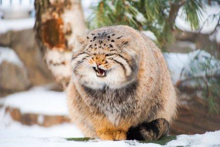 Манул из Новосибирского зоопарка