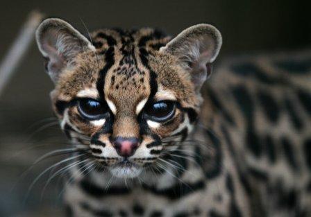 Кошка американская, или марги (Leopardus (Felis) wiedii)