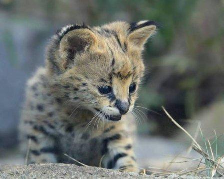В зоопарке Сан-Диего показали котенка сервала