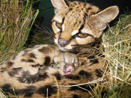 В зоопарке Уругвая родился детеныш дикой кошки маргай