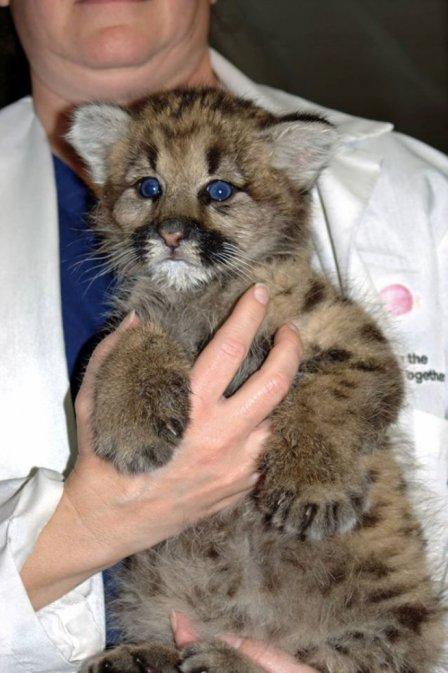 В зоопарке Массачусетса приютили осиротевшего котенка пумы