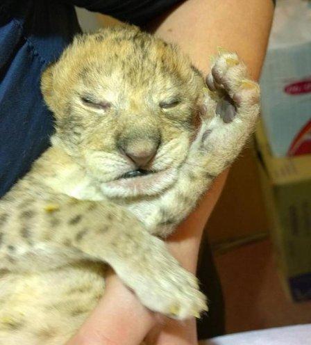 В зоогалерее Иркутска впервые родились львята