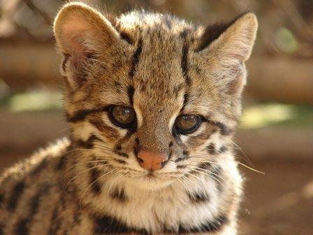 Кошка онцилла, или малая пятнистая, или тигровая кошка (Leopardus (Felis) tigrina [tigrinus] или Felis pardinoides)