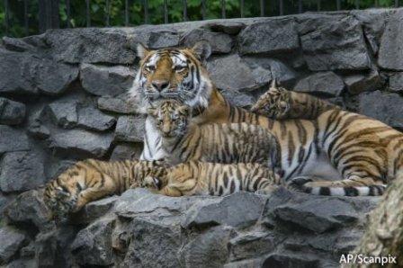 В зоопарке Риги родились два амурских тигренка