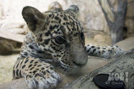 В Воронежском океанариуме появился ягуар