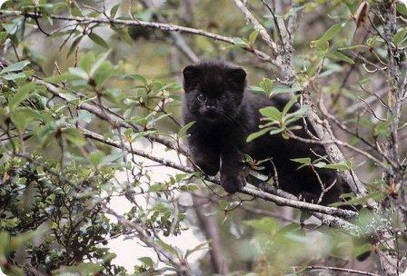 Чилийская кошка или Кодкод
