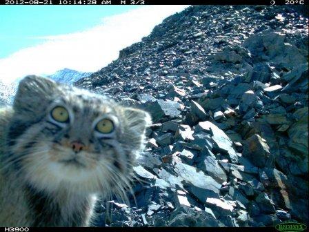 Мастер маскировки: кот манул поднимается все выше в горы