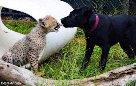 О дружбе гепардов и собак