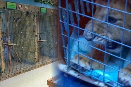 В центре Москвы нашли бесхозного львенка