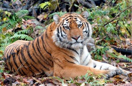 Заберите тигра домой!