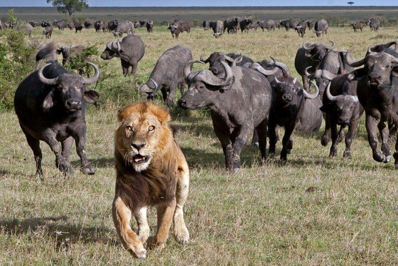 Блог Павла Аксенова. Африканскиt буйволs. Фото znm666 - Depositphotos