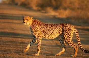 Ученые получили редчайшие кадры сахарского гепарда