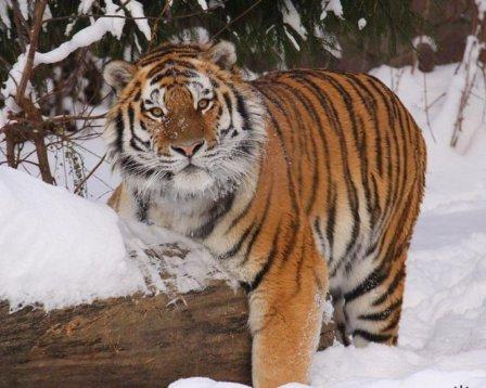 Любители бега могут «посоревноваться» с амурским тигром