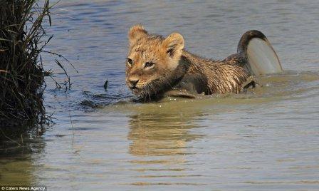 Львица помогла львенку перебраться через реку