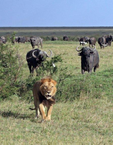 Неудачная охота семейной пары львов на буйвола (9 фото)