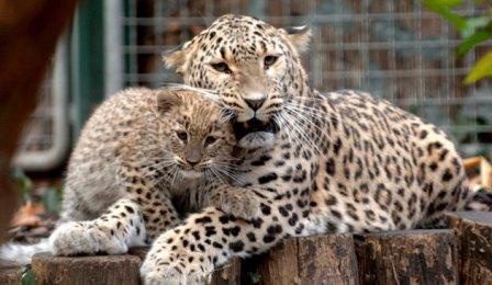 Иран передаст РФ переднеазиатских леопардов в обмен на амурских тигров