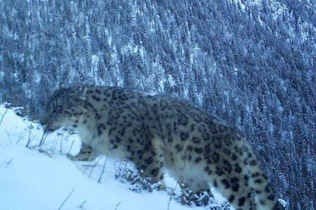 На границе Республики Алтай и Казахстана обнаружили снежного барса