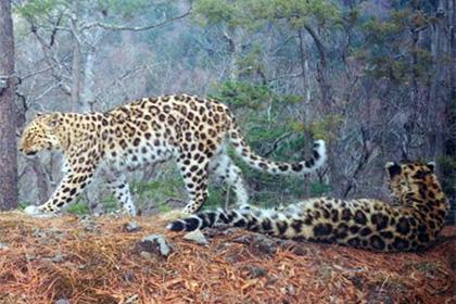 Семь леопардов получили имена вместо номеров
