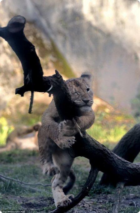 Львиное семейство из зоопарка Woodland Park