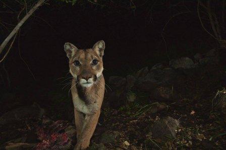 Горные львы Санта-Моники пойманы на камеру