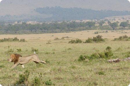 Льву пришлось забраться на дерево, спасаясь от буйволов