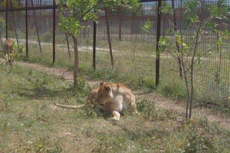 Слепая львица из сафари-парка «Тайган» вновь стала мамой
