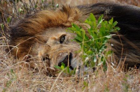 Как оказавшийся на свободе лев сходит с ума от счастья