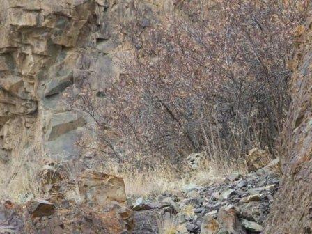 Неуловимый хищник: кто сможет найти снежного барса на фото?