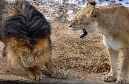 Разборки в львином семействе (5 фото)