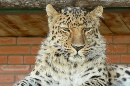 Дальневосточный леопард приехал из Чехии в Ростов