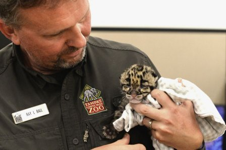 В зоопарке Флориды родился детеныш дымчатого леопарда
