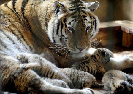 В китайском заповеднике амурская тигрица родила пять малышей