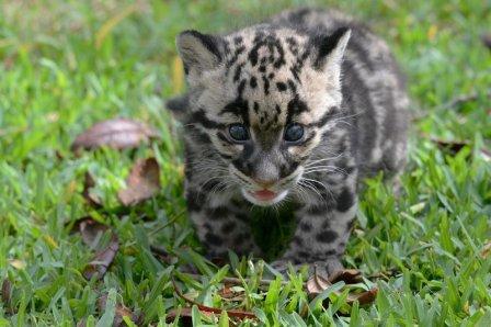 Новые фото детеныша дымчатого леопарда из зоопарка Флориды