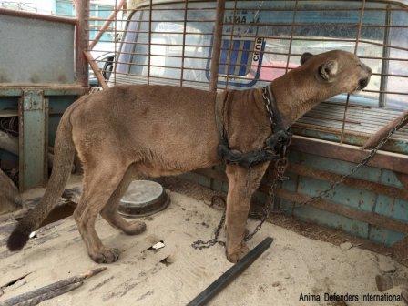 История о спасении пумы, которая жила в грузовике