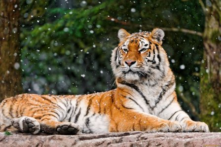 В России подсчитали амурских тигров и дальневосточных леопардов