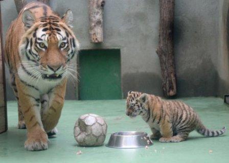 В чешском зоопарке впервые за 32 года родились амурские тигрята