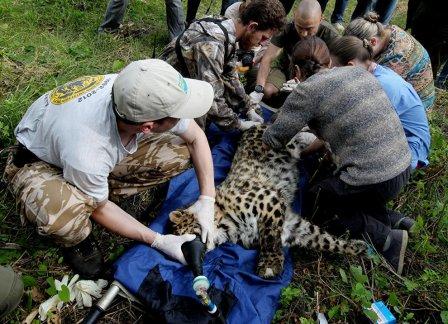 В Приморье спасают покалеченного браконьерами молодого леопарда