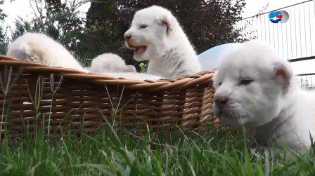 """В крымском зоопарке """"Тайган"""" родились четыре белых львенка"""