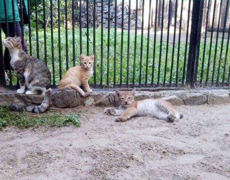 Кошка заменила рысенку маму в зоопарке Новосибирска