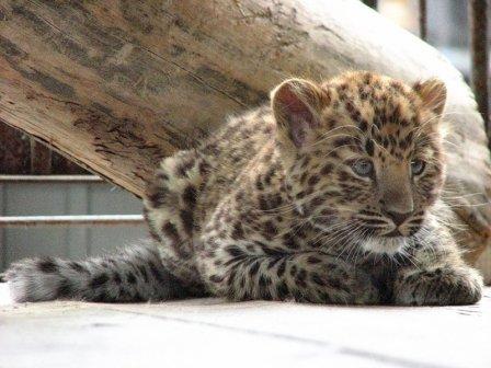 В Ростовском зоопарке родились детеныши редкого дальневосточного леопарда