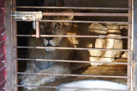 Спасенного из зоопарка в Уссурийске льва лечат с помощью мясной диеты