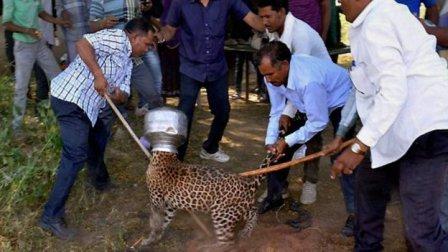 В Индии спасли леопарда, застрявшего головой в сосуде для воды