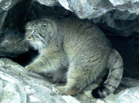 В Саяно-Шушенском заповеднике посчитали котов манулов