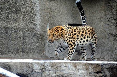 В Московский зоопарк привезли редкого дальневосточного леопарда