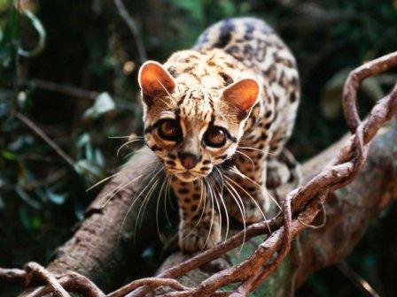 В Новосибирском зоопарке появились маргай и камышовый кот