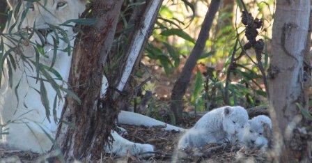 В ЮАР перенёсший стерилизацию лев внезапно стал отцом