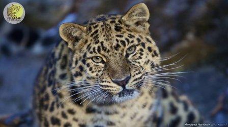 """50 тигров и леопардов имеют двойное русско-китайское """"гражданство"""""""
